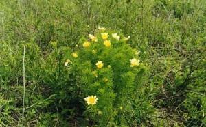 трава адонис в цвете