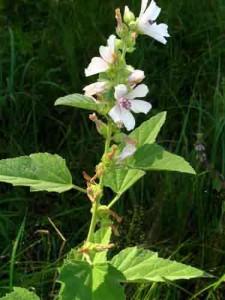 растение алтей