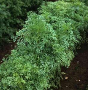 растение амми зубная