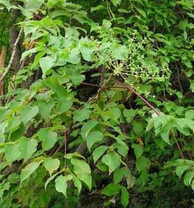 растение аралия маньчжурская