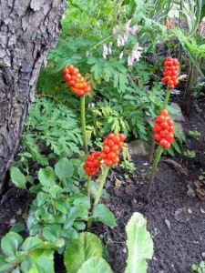 трава аронника ягоды