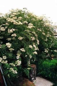 растение бузина черная