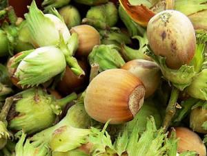 лесной орех полезные свойства - фундук