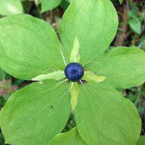 Растение вороний глаз