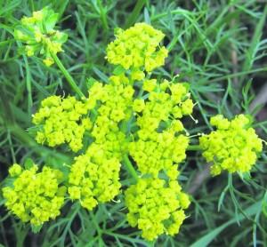 растение фенхель обыкновенный