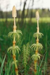 растение хвощ полевой