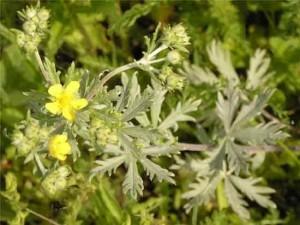 применение травы лапчатка серебристая
