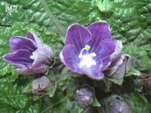 Растение мандрагора лечебные свойства