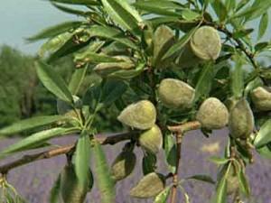 описание растения индаль обыкновенный
