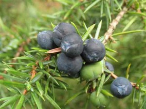 плоды можжевельника обыкновенного лечебные свойства