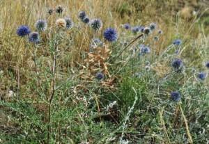 трава мордовник лечебные свойства