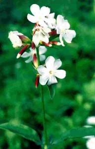 лечебные свойства растения мыльнянка