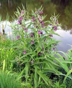 описание травы окопник лекарственный