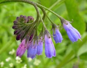 лечебные свойства травы окопник лекарственный