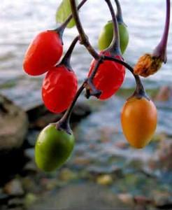 лечебные свойства растения паслен дольчатый