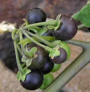 лечебные свойства растения паслен черный