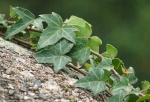 описание травы плющ обыкновенный