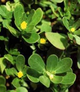 лечебные свойства травы портулак огородный
