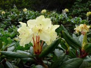 описание растения рододендрон золотистый