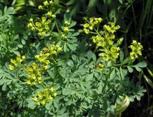 описание растения рута пахучая