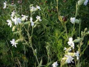 применение растения смолёвка обыкновенная в народной медицине