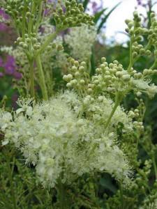 лечебные свойства травы таволга вязолистная