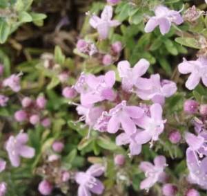 описание и лечебные свойства травы тимьян ползучий