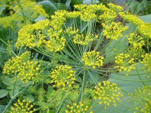 описание растения укроп огородный
