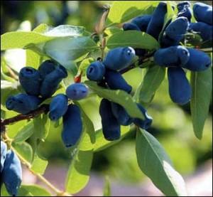 лечебные свойства ягод жимолости