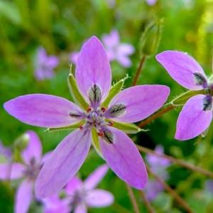 Растение аистник
