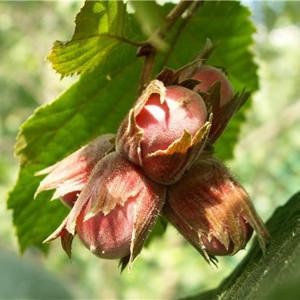 Полезные свойства лесного ореха