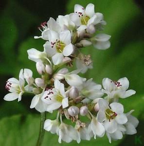 цветы растения гречиха
