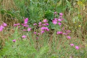 трава гвоздика полевая