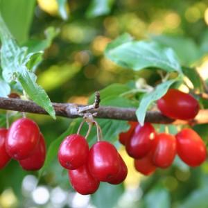 Лечебные свойства плодов кизила