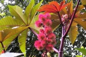 растение клещевина обыкновенная