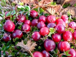 ягоды клюква болотная
