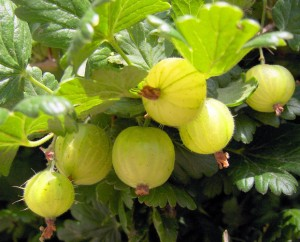 плоды крыжовник обыкновенный
