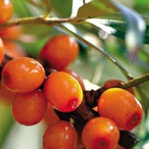 полезные свойства ягод облепихи