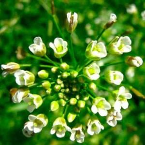 Описание и лечебные свойства травы пастушья сумка.