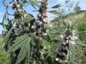лечебные свойства травы пустырник пятилопастный