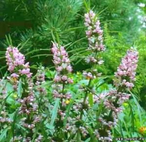 описание травы пустырник сердечный