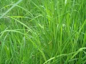 Ботаническое описание травы пырей и где растет.