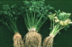 лечебные свойства сельдерея
