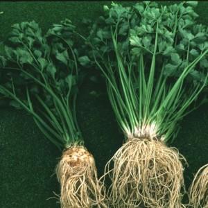 Лечебные свойства и лечение растением сельдерей.
