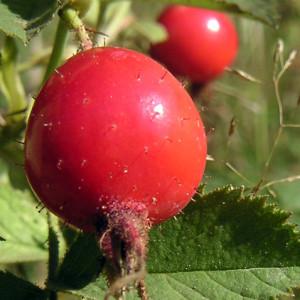 Лечение плодами и корнем шиповника.