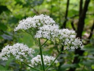 описание травы валериана лекарственная