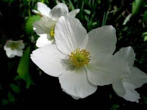 лечебные свойства травы ветреница лесная