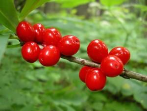 ягоды волчье лыко и их применение