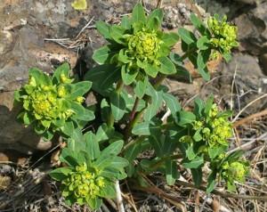 лечебные свойства травы володушка