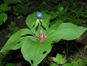 описание растения вороний глаз